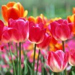 ◆今が植え時!!チューリップ♦(春が待ち遠しくなる秋植え球根)
